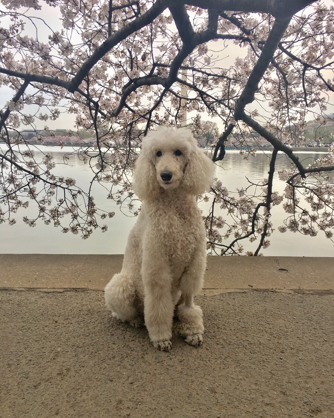 In honor of National Pet Day (which is basically like Christmas around here!) we checked in on a few of our favorite Instagram stars to see what they've been up to lately, and we noticed many of them had paid a visit to D.C.'s beloved blossoms. So for this week's special RUFFined Spotlight, we give you some adorable four-legged admirers of the cherry blossoms! (Image: via  IG user @gentlemanjaxdc /{ }instagram.com/gentlemanjaxdc/){ }