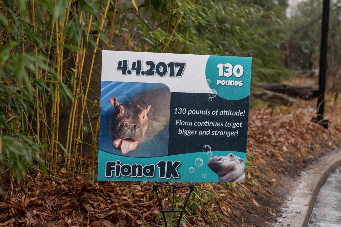 To celebrate Fiona the hippo's milestone of reaching 1,000 lbs, the Cincinnati Zoo and Botanical Garden held a Fiona 1K walk through the zoo on Saturday, December 1. Though it poured through the event, many still showed up to participate in the walk. / Image: Mike Menke // Published: 12.2.18