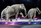 In this May 1, 2016 file photo, Asian elephants perform for the final time in the Ringling Bros. and Barnum & Bailey Circus in Providence, R.I.