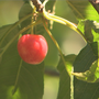 Chinese tariffs impacting local cherry farmers