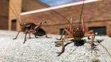 Photos: Yikes! Mormon crickets swarming small town of Murphy