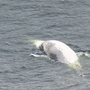 Researchers studying spike in dead whales found in Washington waters