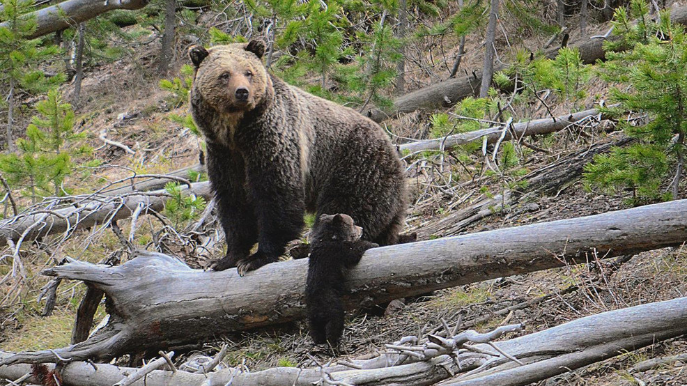 Feds again seek comment on North Cascades grizzly bear plans