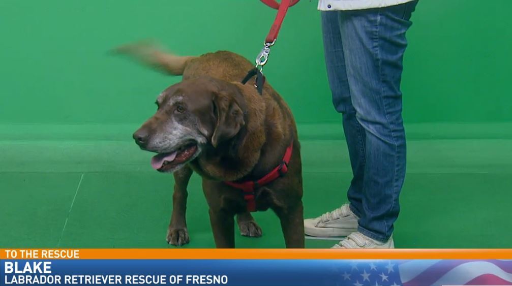 Nanie Gonzalez from Labrador Retriever Rescue of Fresno visited Great Day with Blake, looking for a good home