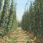 Hops production rises to meet craft brewer needs