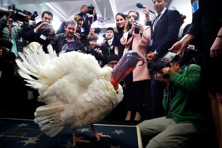 Wishbone, one of two turkeys set to be pardoned by President Donald Trump, is previewed by members of the press, Tuesday, Nov. 21, 2017, at the White House briefing room in Washington. (AP Photo/Jacquelyn Martin)