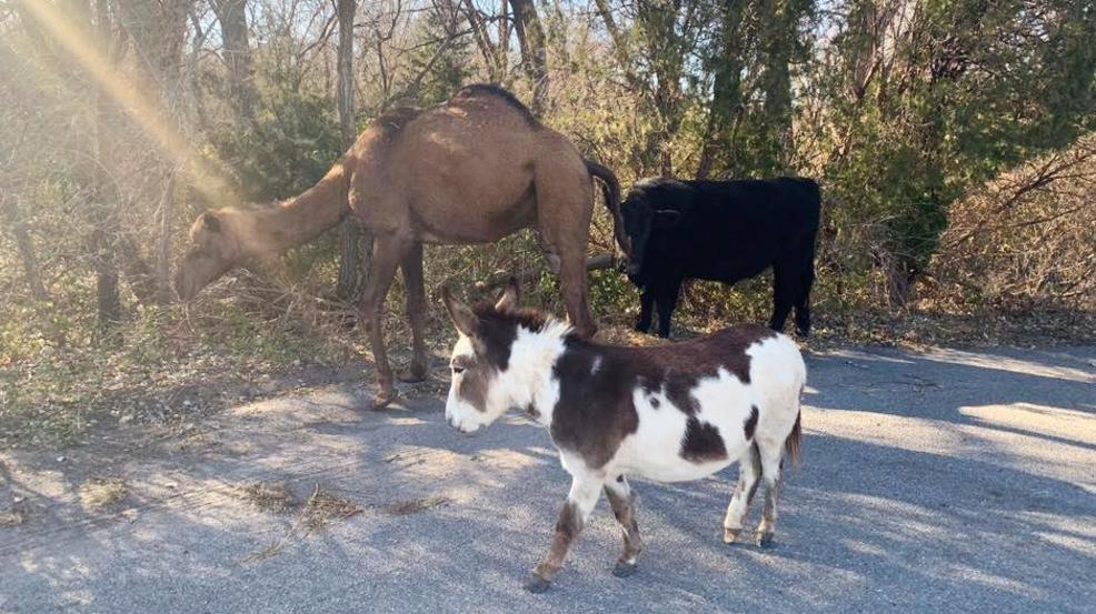 Camel, cow, donkey found roaming together along Kansas road AP.jpg