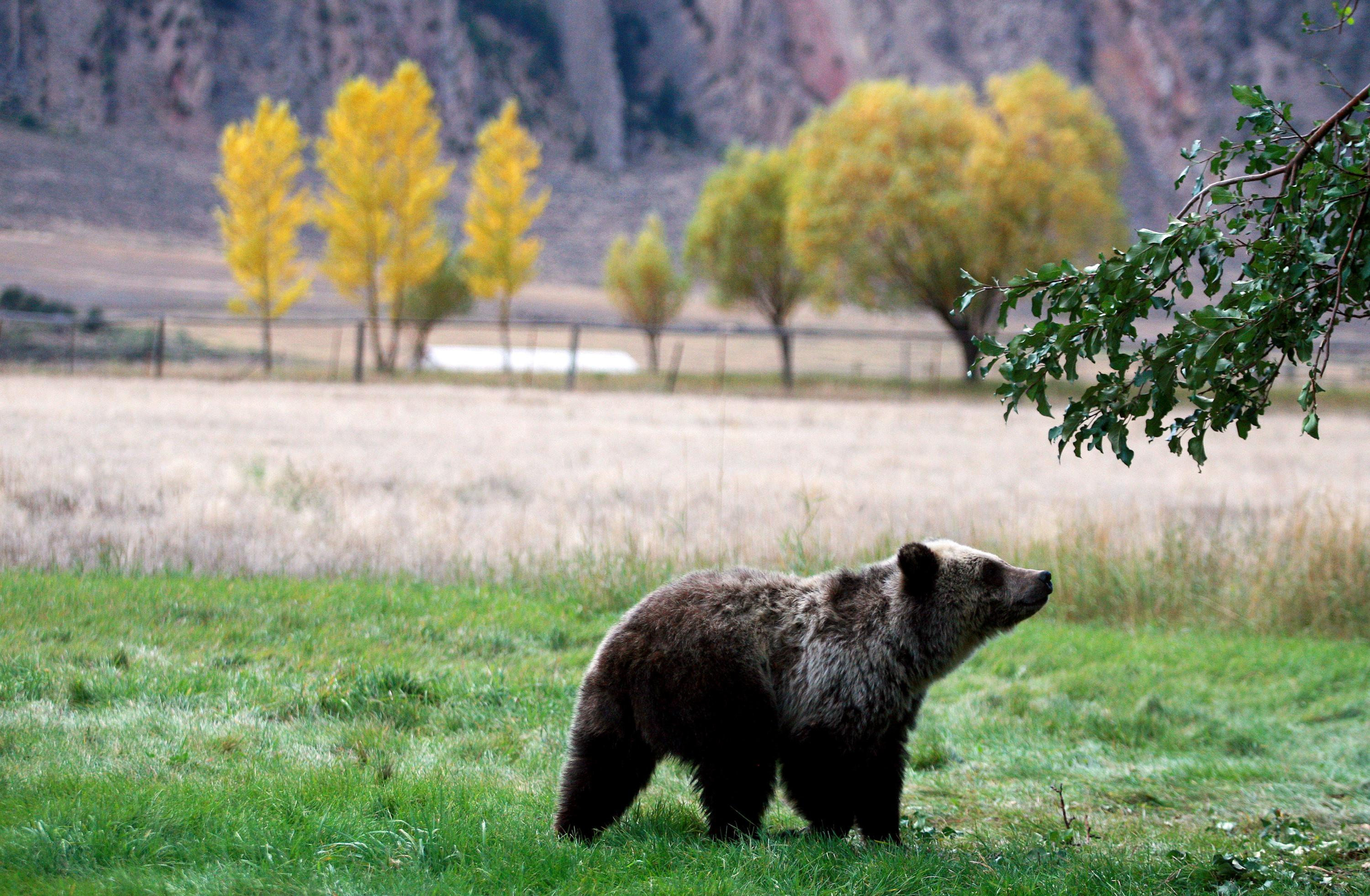 FILE - In this Sept. 25, 2013, file photo, a grizzly bear cub searches for fallen fruit beneath an apple tree a few miles from the north entrance to Yellowstone National Park in Gardiner, Mont. On Monday, Sept. 24, 2018, a federal judge restored federal protections to grizzly bears in the Northern Rocky Mountains and blocked the first hunts planned for the animals in the Lower 48 states in almost three decades. (Alan Rogers/The Casper Star-Tribune via AP, File)