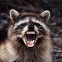 North Georgia resident chased & bitten by rabid raccoon