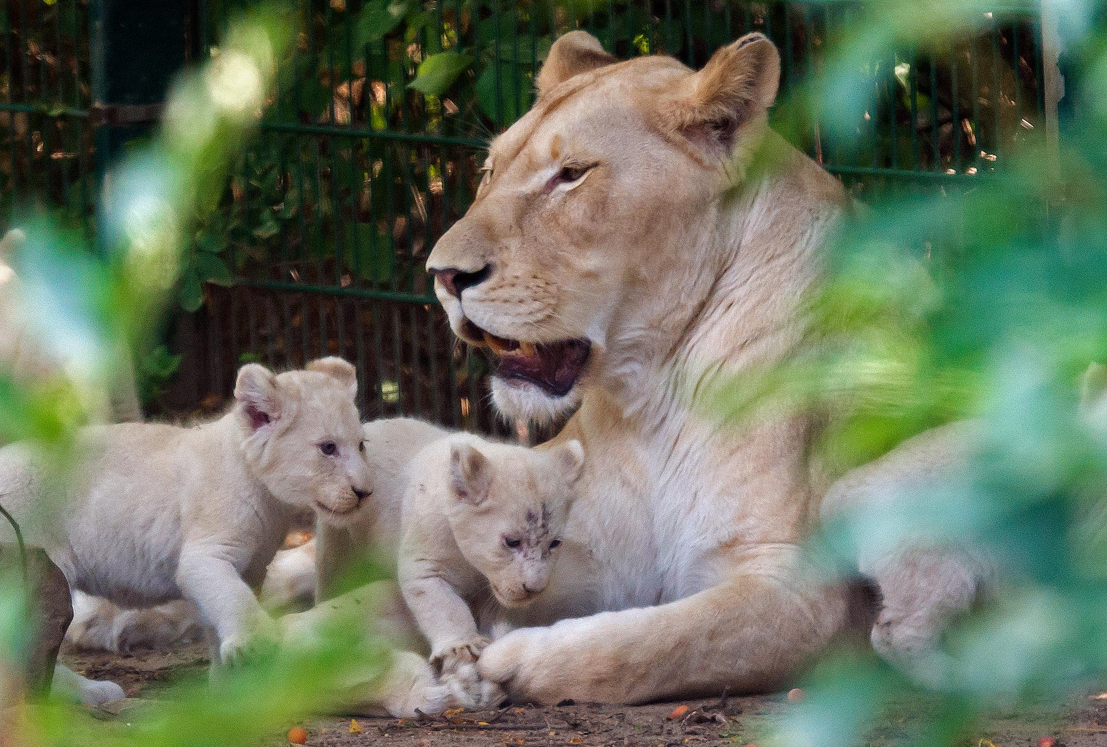Two of four rare African white lion cubs walk besides their mother Kiara in their enclosure at the zoo in Magdeburg, Germany, Friday, Aug. 17, 2018. Keepers weighed the three males and one female and carried out health checks on the cats, which are rare in the wild. The young lions were born on July 5, 2018. (AP Photo/Jens Meyer)