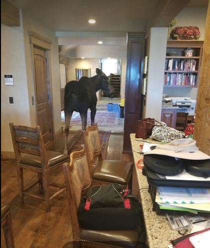 Moose makes himself at home in Park City residence living room. (Photo: Sheri Prucka / KPCW)<p></p>