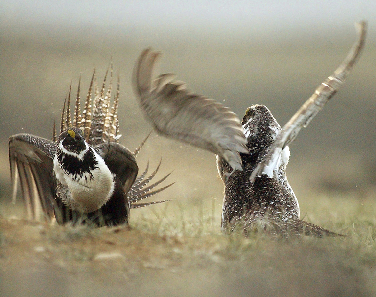 FILE - In this May 9, 2008 file photo, male sage grouses fight for the attention of females southwest of Rawlins, Wyo. Environmental groups are suing the Trump administration for allegedly ignoring policies meant to protect the imperiled bird. The lawsuit filed Monday, Monday, April 30, 2018,  in U.S. District Court seeks to reverse lease sales across 475 square miles in Montana, Wyoming, Utah and Nevada.(Jerret Raffety/The Rawlins Daily Times via AP, File)