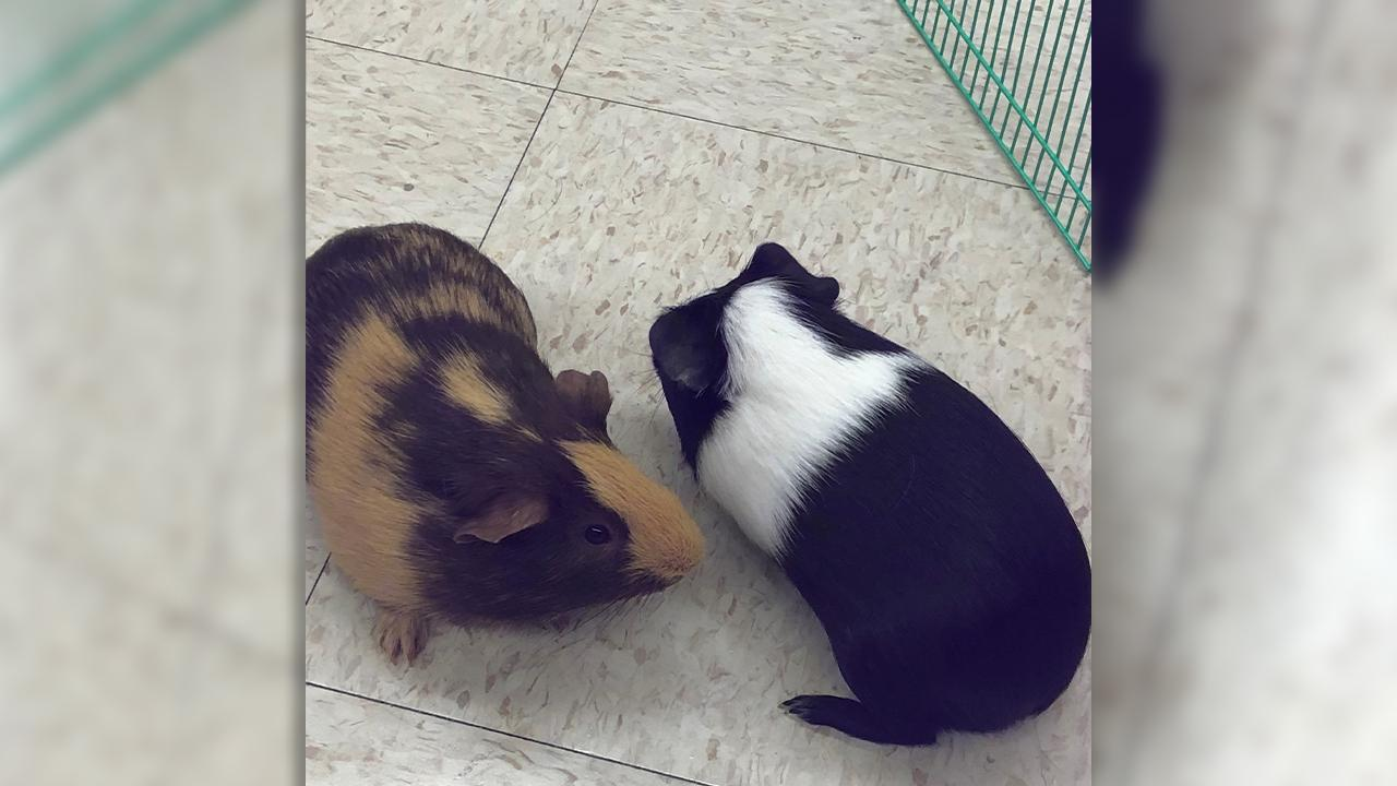 Oreo and Reecy are guinea pigs, the newest pet additions at Gardendale Elementary. (abc3340.com | Wendell Edwards)