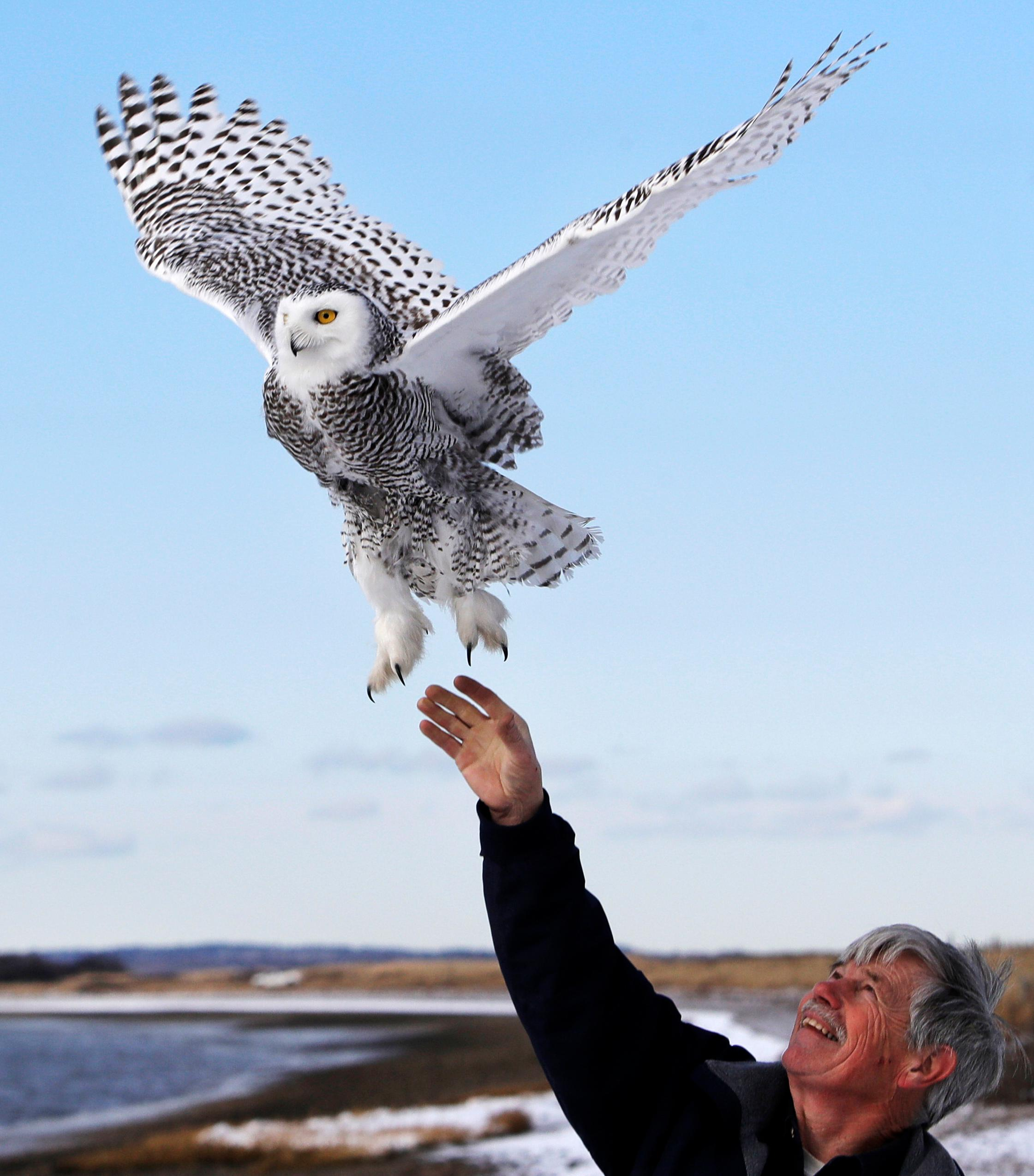 In this Dec. 14, 2017 photo, Norman Smith, director of Mass Audubon's Blue Hills Trailside Museum, releases a snowy owl along the shore of Duxbury Beach in Duxbury, Mass. The owl is one of 14 trapped so far this winter at Boston's Logan Airport and moved to the beach on Cape Cod Bay. (AP Photo/Charles Krupa)