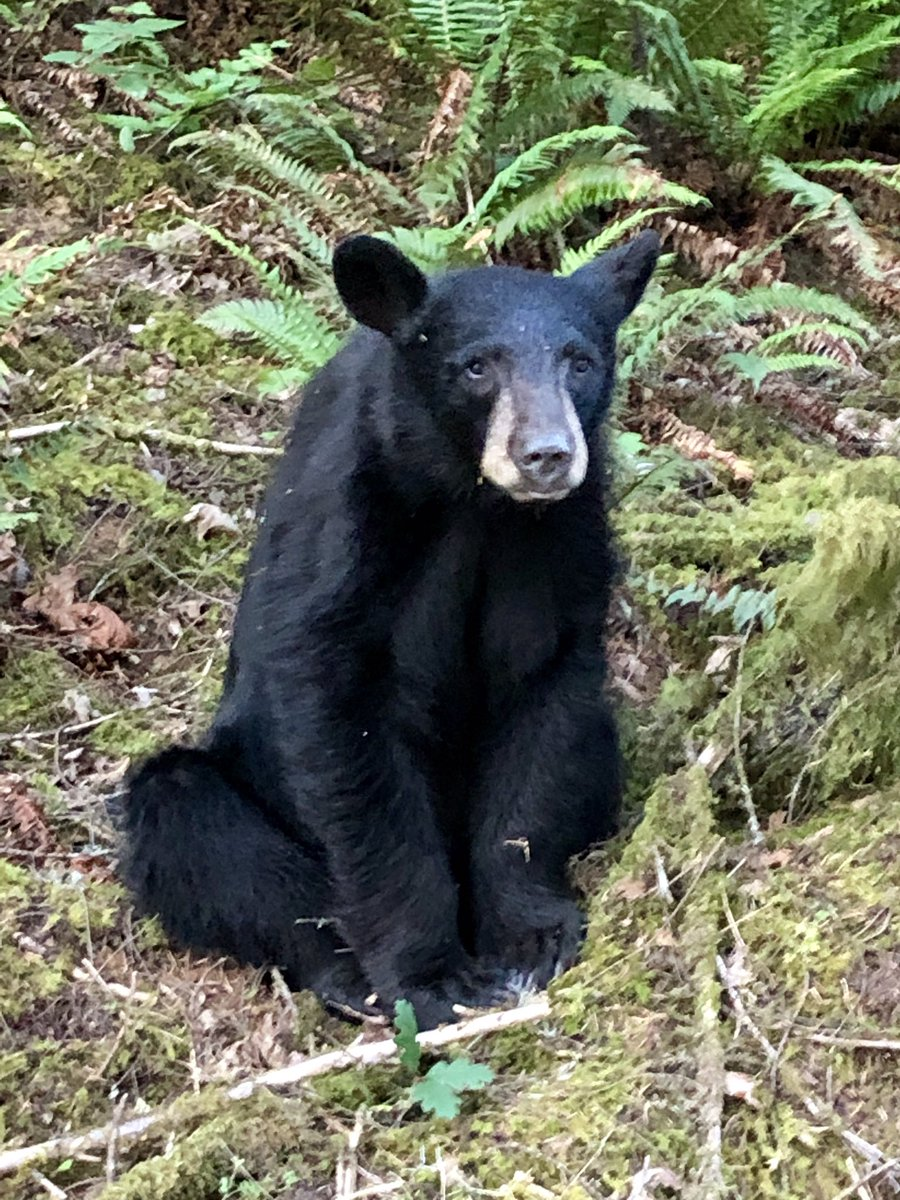 { }Oregon wildlife officials have killed a young black bear that people have been feeding and taking photos with. (Photo via WCSO)
