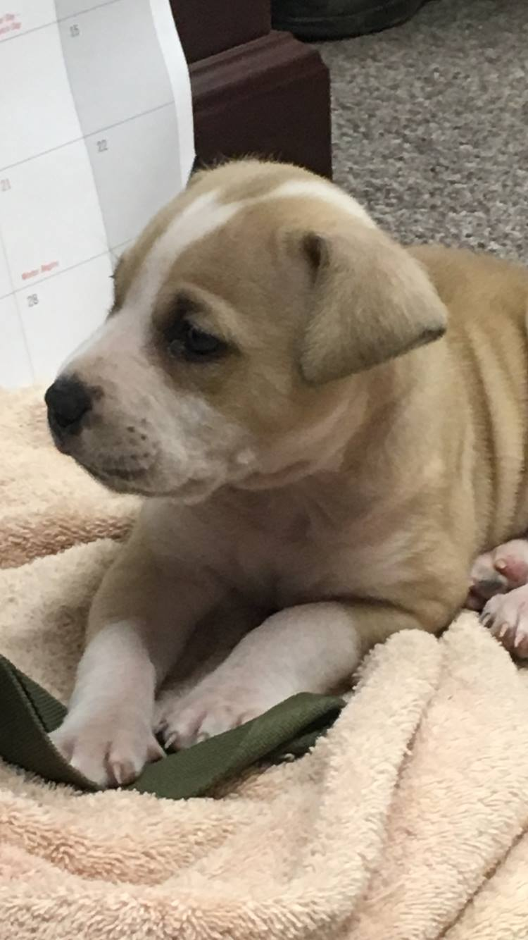 Ricochet is a 6-week old mixed breed (Brown County Sheriff's Office)
