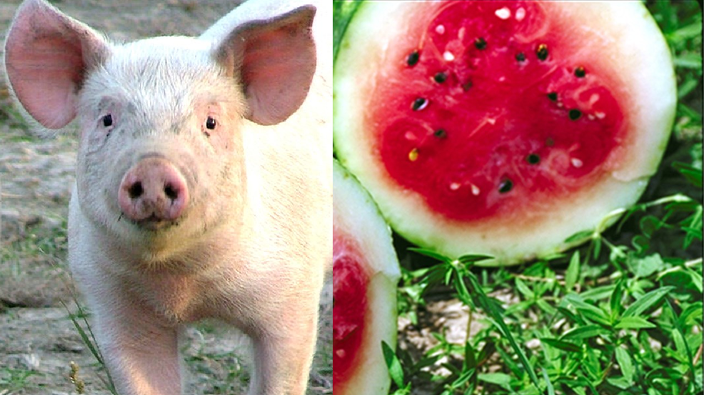 pig watermelon.png