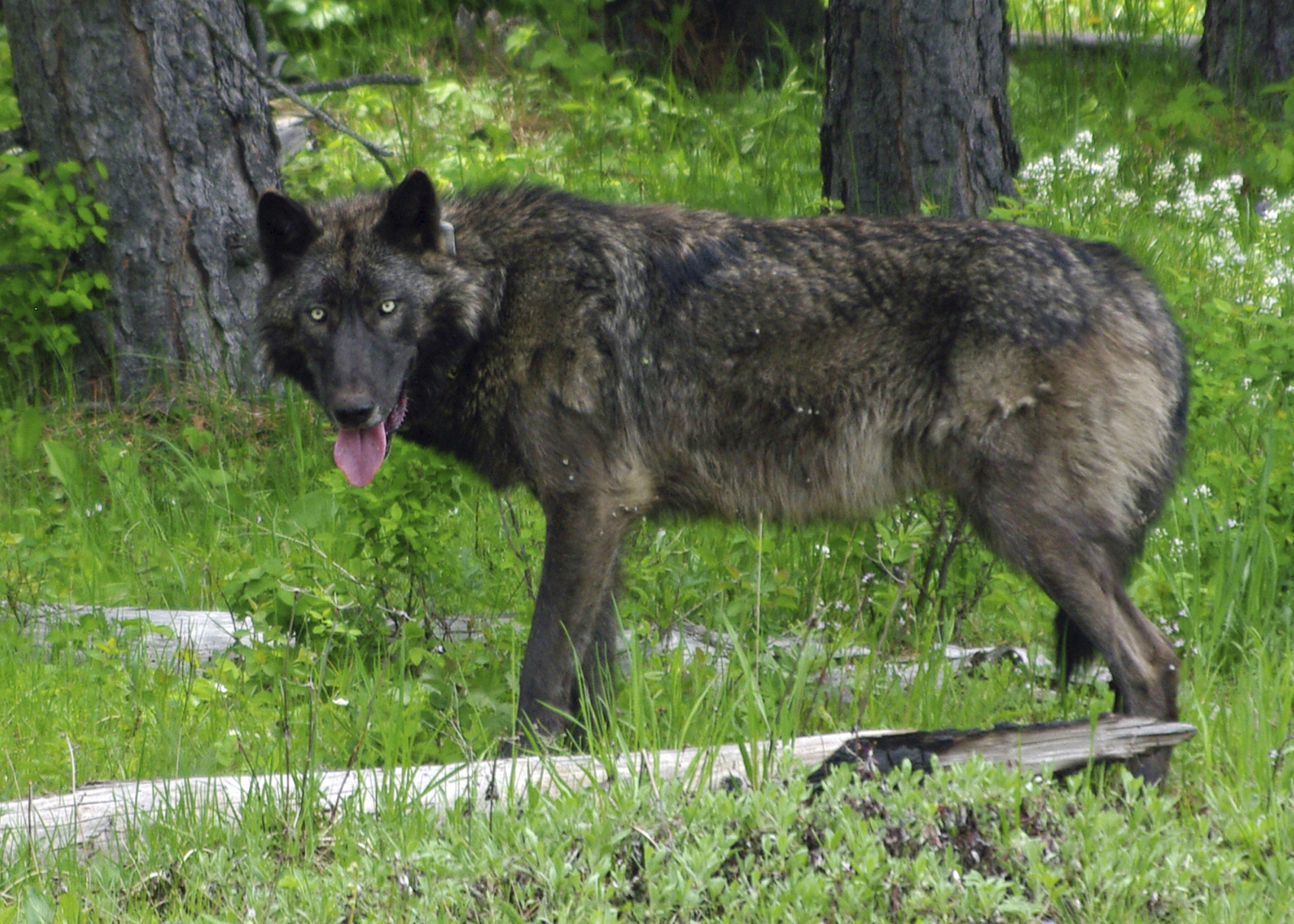 In this May 25, 2014 photo provided by the Oregon Department of Fish and Wildlife, a 100-pound adult male wolf is GPS radio-collared in the Mt. Emily Oregon Wildlife Management Unit in the Umatilla National Forest, Ore. (Oregon Department of Fish and Wildlife via AP)