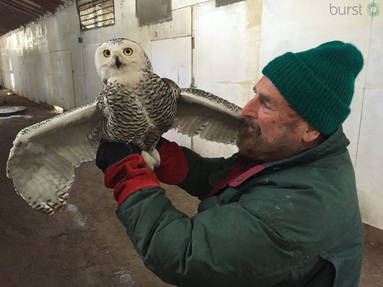 Joe Rogers shows off a snowy owl that he's working to rehabilitate at the Wildlife Recovery Association.{&amp;nbsp;}{&amp;nbsp;}<p></p>