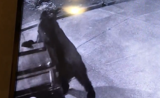 A viewer notified us that two bears were seen in a neighborhood near Lane Community College, going through trash.