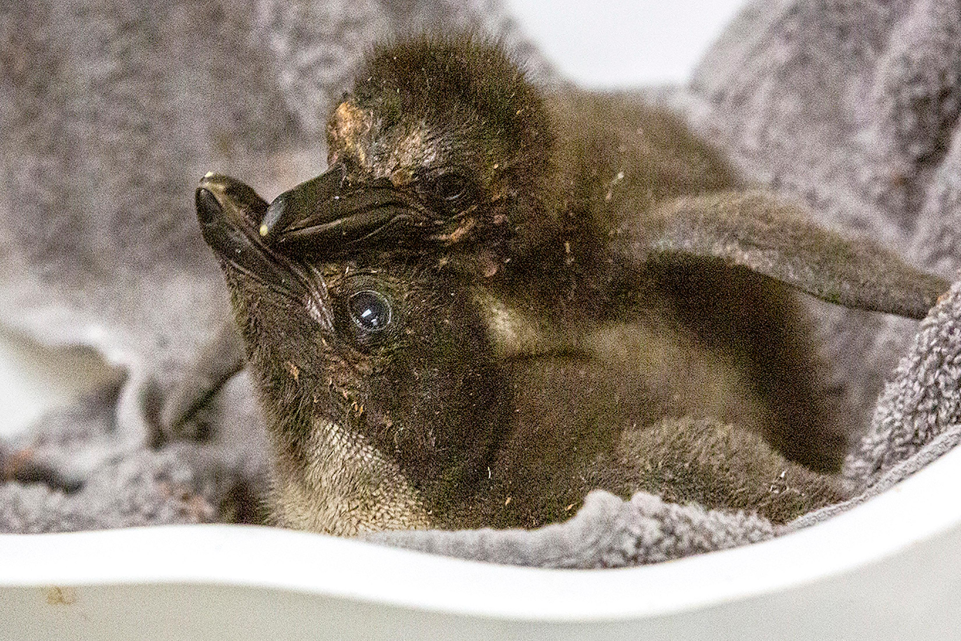 In this undated photo provided by the Kansas City Zoo, two Macaroni penguin chicks are cared for just days after their birth at the zoo in Kansas City, Kansas. For the first time in the zoo's 110-year history, the zoo is home to Macaroni penguins from eggs provided by SeaWorld San Diego, that hatched eight fluffy chicks in incubators. (Kansas City Zoo via AP)