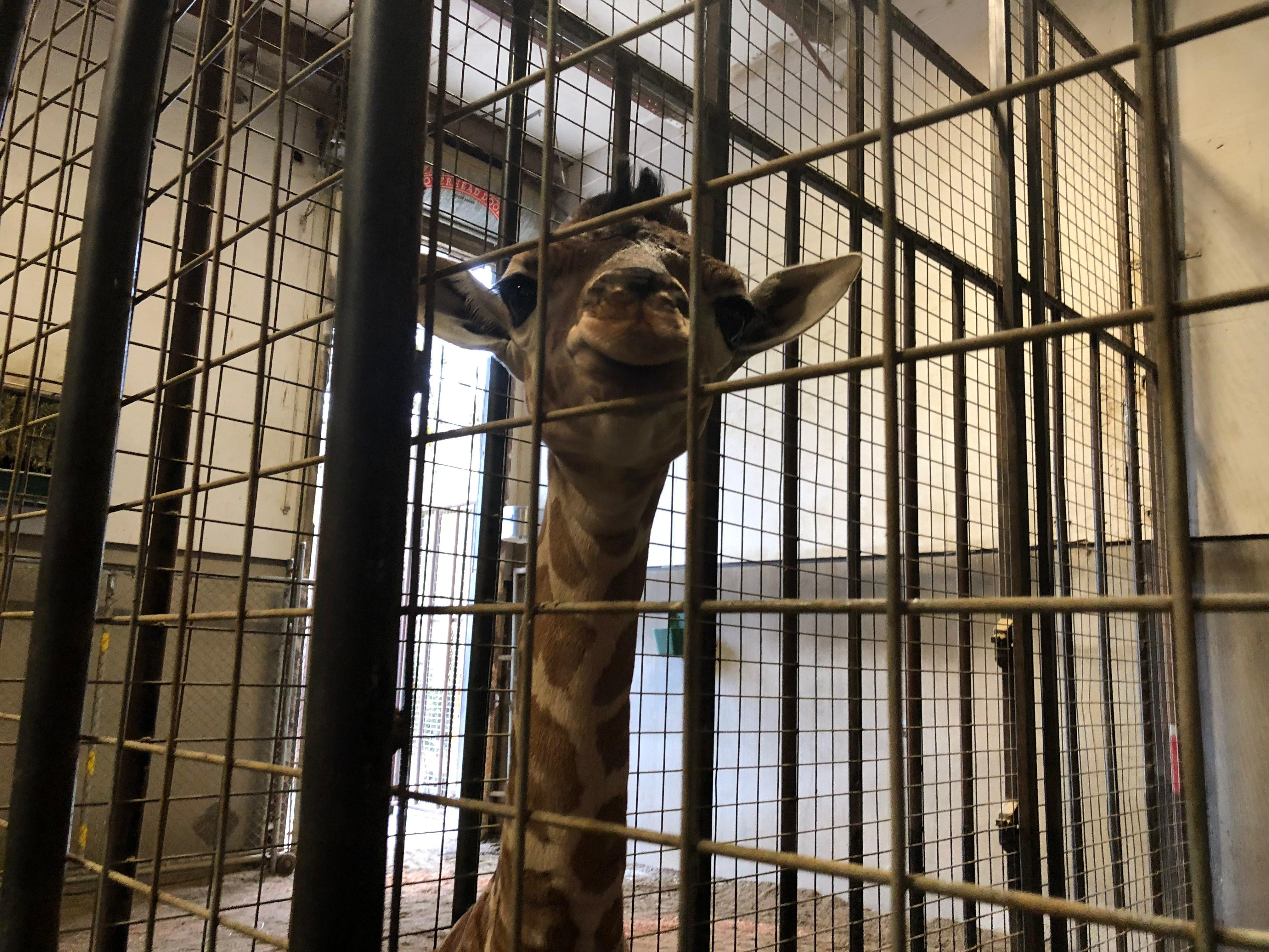<p>A female giraffe was born March 4, 2018, at Wildlife Safari in Winston, Oregon. The park plans to announce major news about the baby girl's name by the start of spring break, which begins for the park on March 16. (SBG)</p>