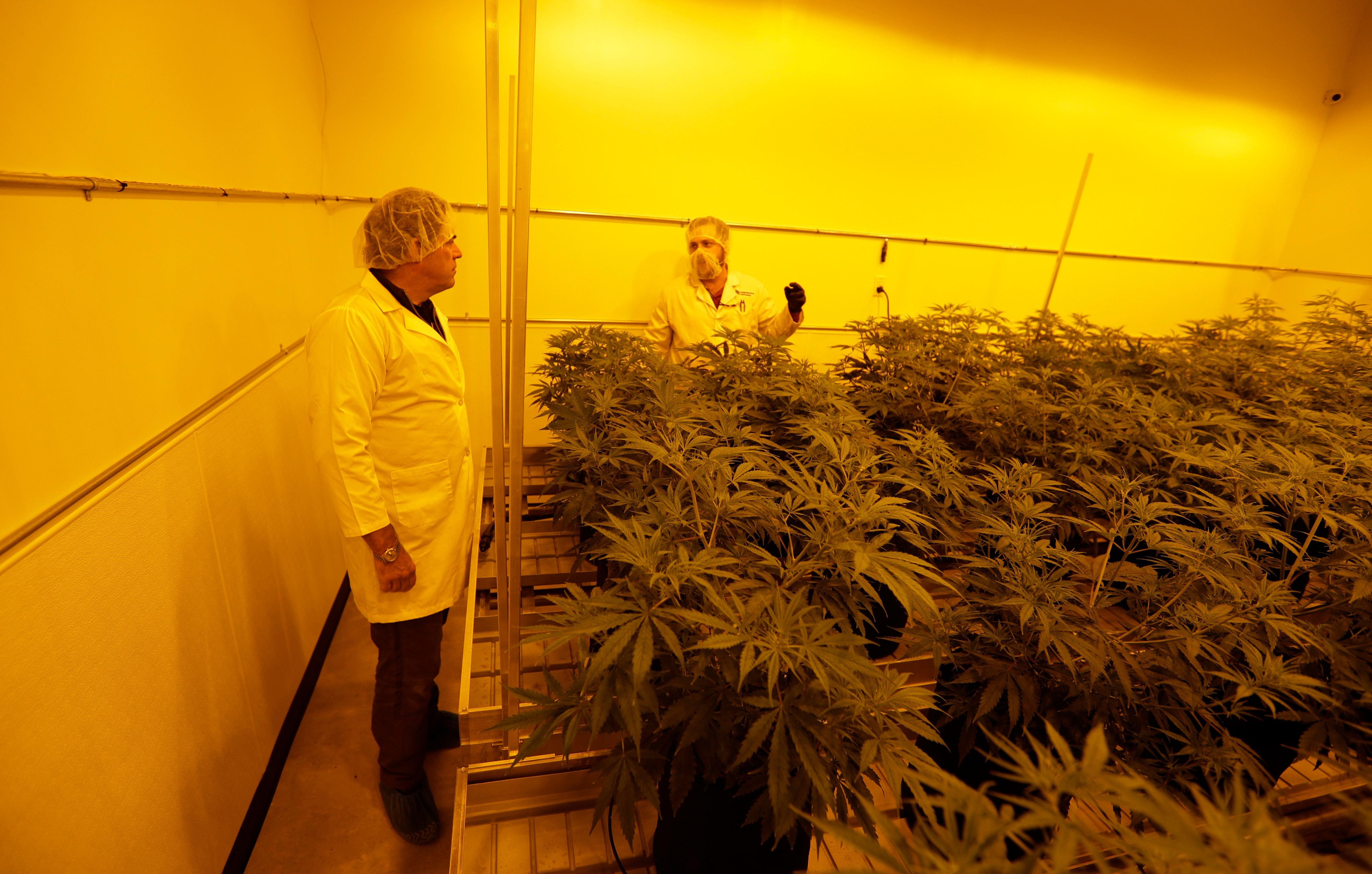 Morris Denton, left, and Dalton Edwards look over marijuana plants in a flowering room with sodium grow lights at Compassionate Cultivation, Thursday, Dec. 14, 2017, in Manchaca, Texas. The license fees to grow in Texas are the highest in the U.S. at nearly $500,000 and the program is rolling out with just seven participating doctors in a state of 27 million people. And like other states, access is limited to a small pool of patients. (AP Photo/Eric Gay)