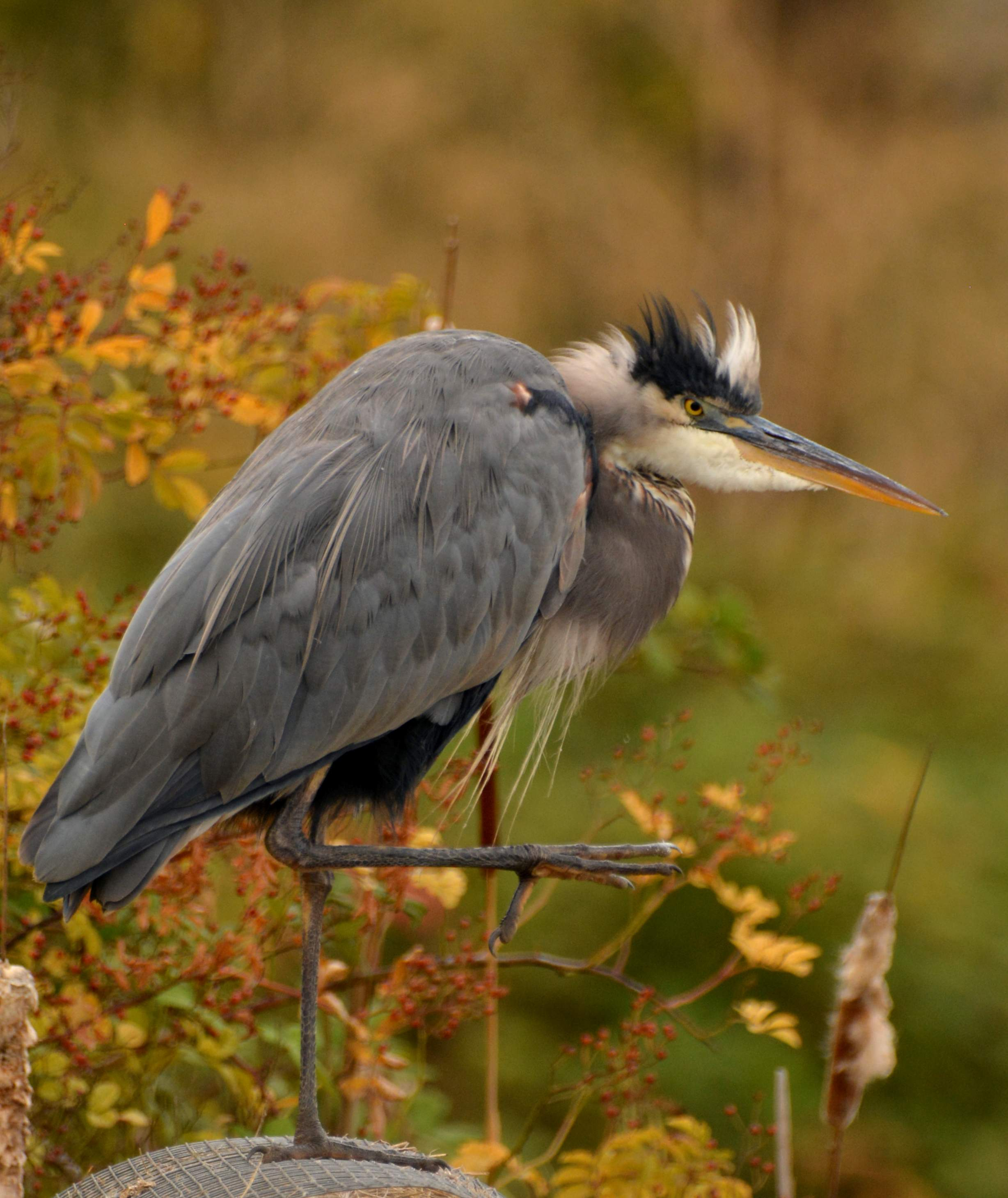 Great blue heron grooming at a pond in White City. - Photo by Richard Wilson