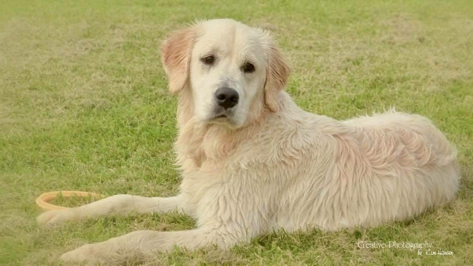 Kreed is around two years old. He is a white/cream colored golden retriever. He is a neutered male.{&amp;nbsp;}<p></p>
