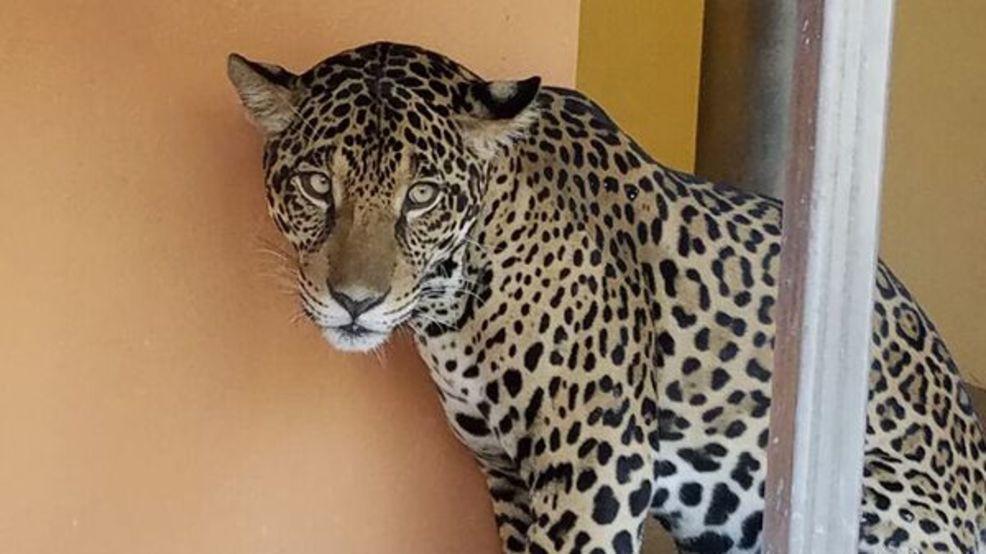 Palm Beach Zoo Welcomes Jaguar U0027Fionau0027 This Weekend