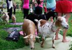In this photo taken July 19, 2017, goats walk through a yoga session at Oak Hollow Acres Farm in Burlington.