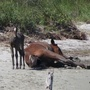 2017 findings report released for Shackleford Banks horses