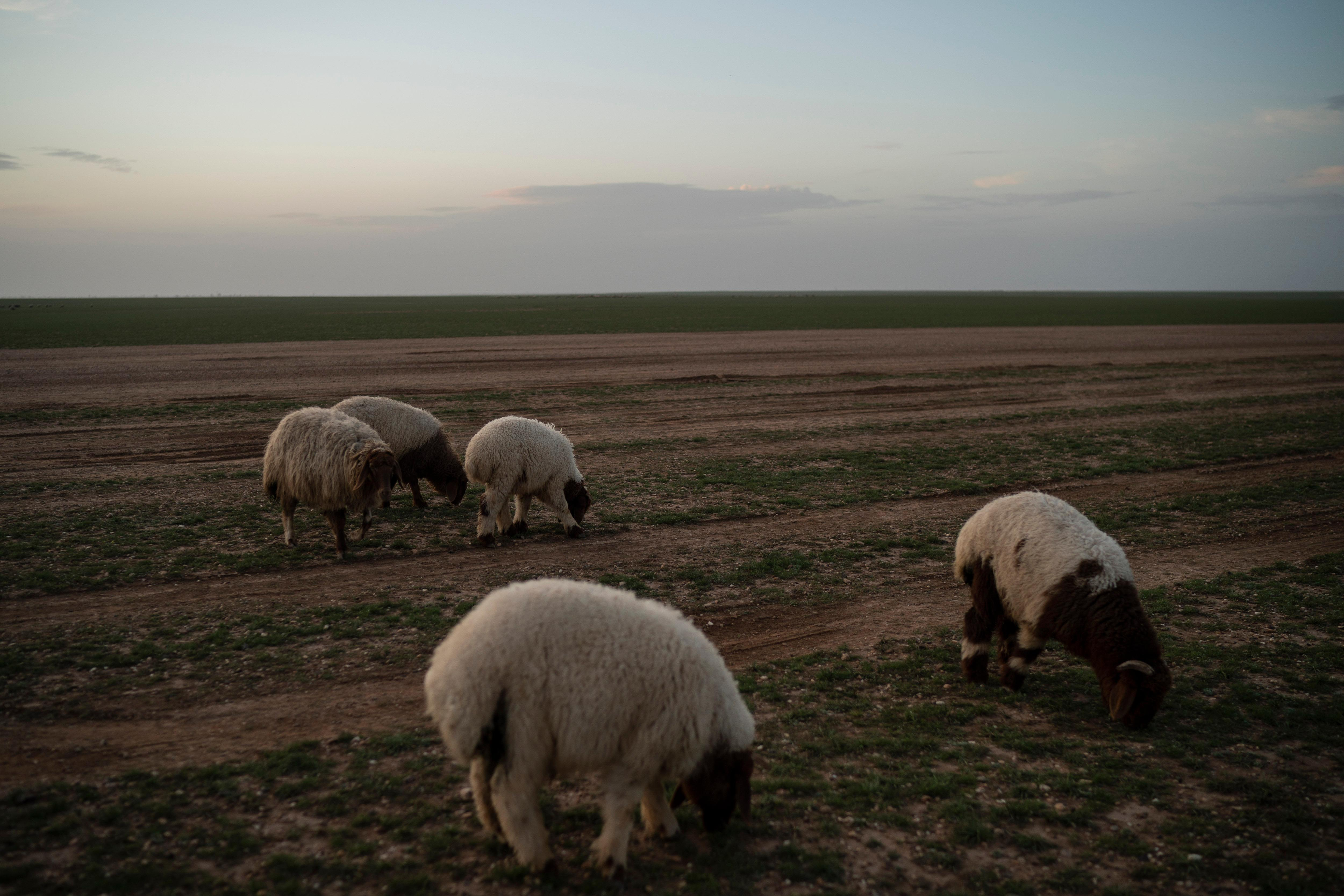 Sheep eat grass in the desert near Hajin, Syria, Saturday, Feb. 16, 2019. (AP Photo/Felipe Dana)