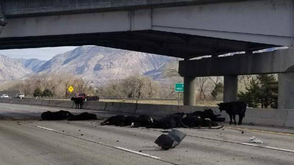cattle fall from i 15 overpass after semi truck accident in ogden komo