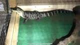 Police find alligator during drug bust in Chester County