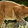 Mountain lions may reappear in Missouri