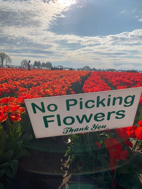 Crowds take in the sights at the Wooden Shoe Tulip Farm as the tulip season hits its peak (SBG)