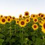Deerfield Township sunflower field attracts shutterbugs