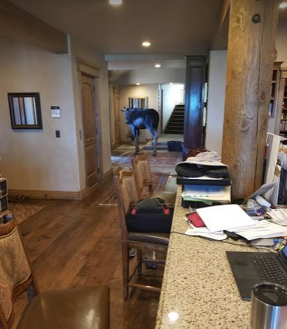Moose makes himself at home in Park City residence living room. (Photo: Sheri Prucka / KPCW)