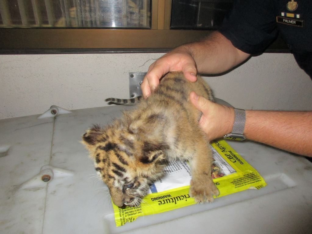 The border patrol seized a tiger cub from a Chevy Camaro at the U.S.-Mexico border early Wednesday morning, U.S. Customs and Border Protection says. (CBP photo)