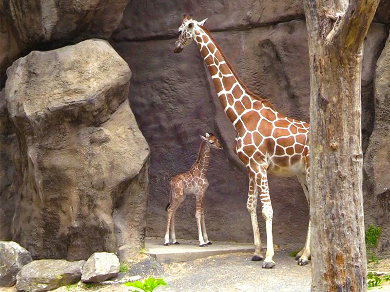 Baby Beau with his mother, Stella. (Philadelphia Zoo)