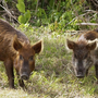 Roundup from the sky kills 103 feral hogs