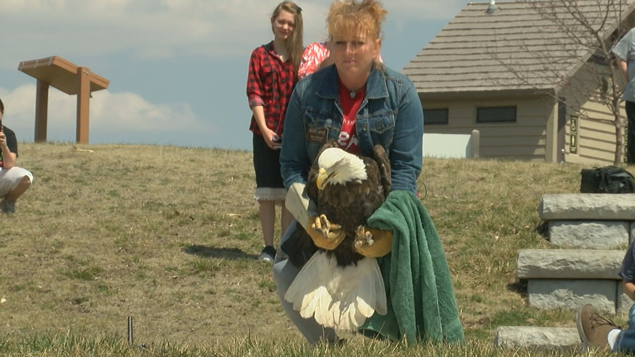 Mary Molliconi preapres to release an adult female bald eagleafter being treated by the Raptor Recovery program at Fontenelle Forest (NTV News)